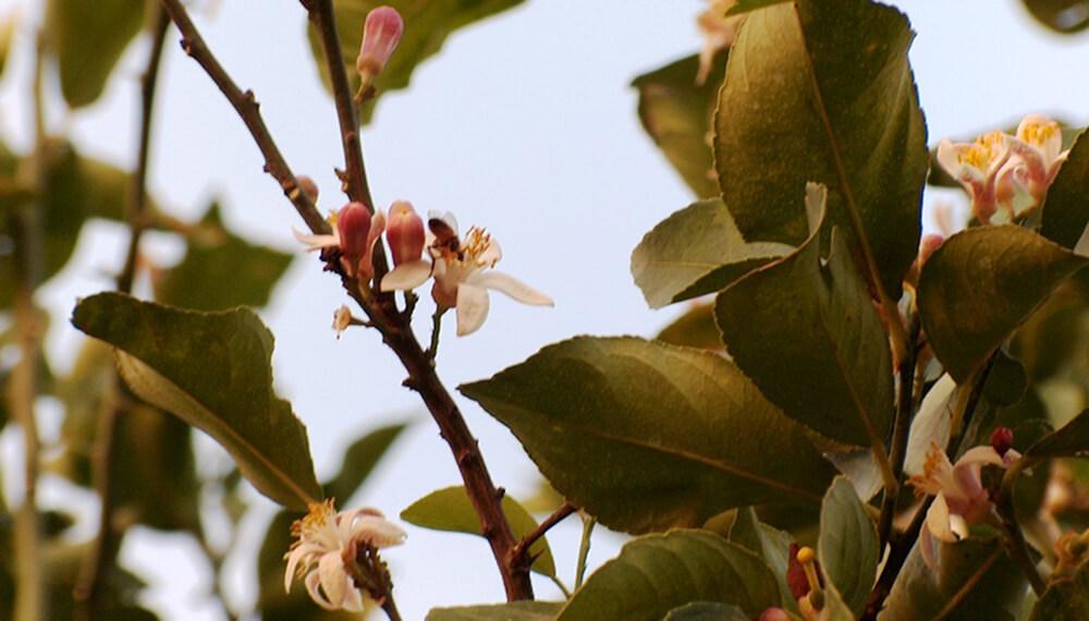 Flores en limonero