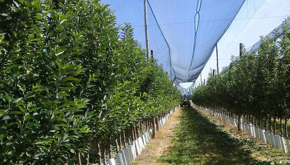 hilera de árboles frutales
