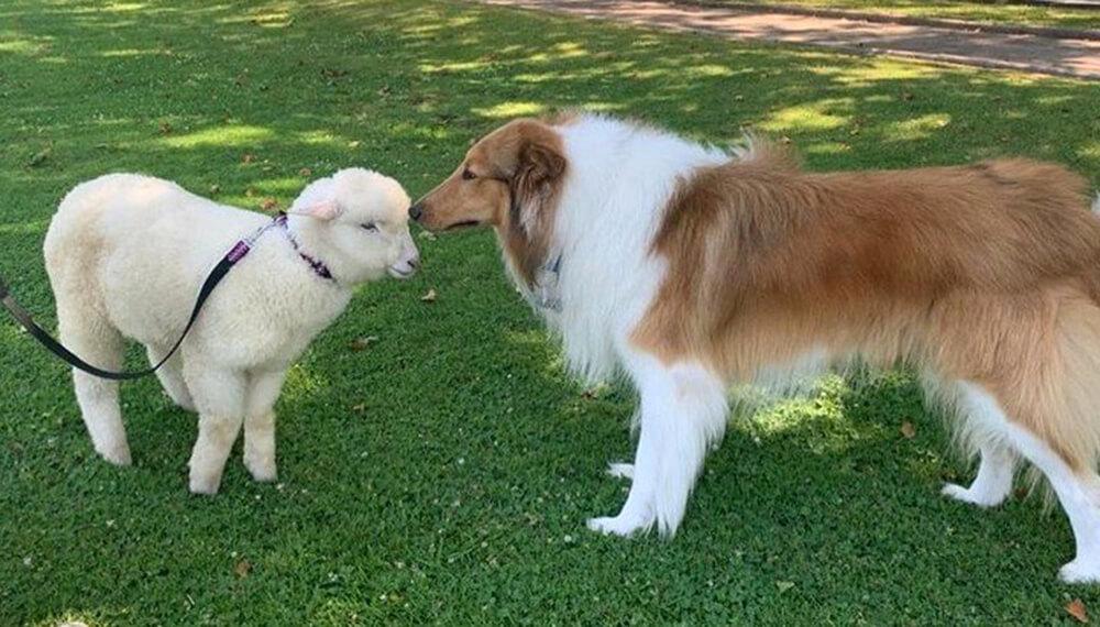 oveja argentina con Dylan perro presidente Alberto Fernandez