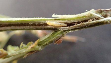 chinche plaga soja