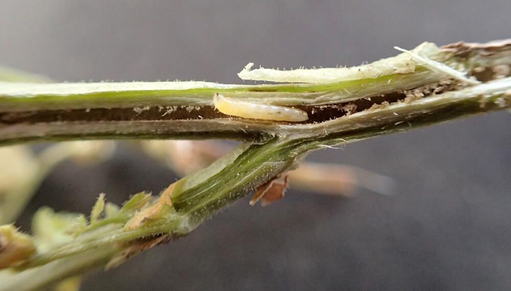 mosquita de la soja en planta
