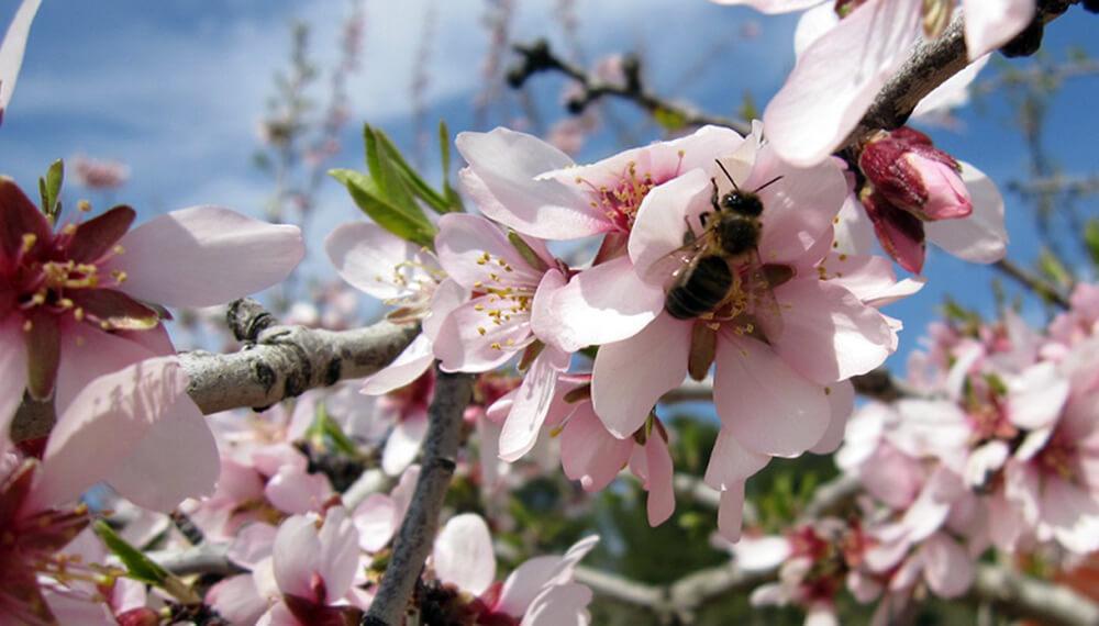 abeja polinizando almendro