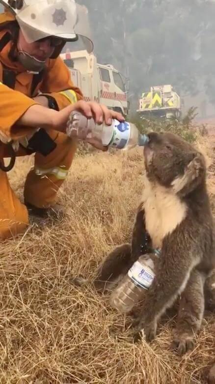 koala bombero