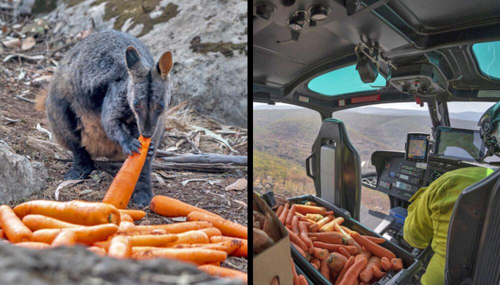 zanahorias canguros helicóptero Australia