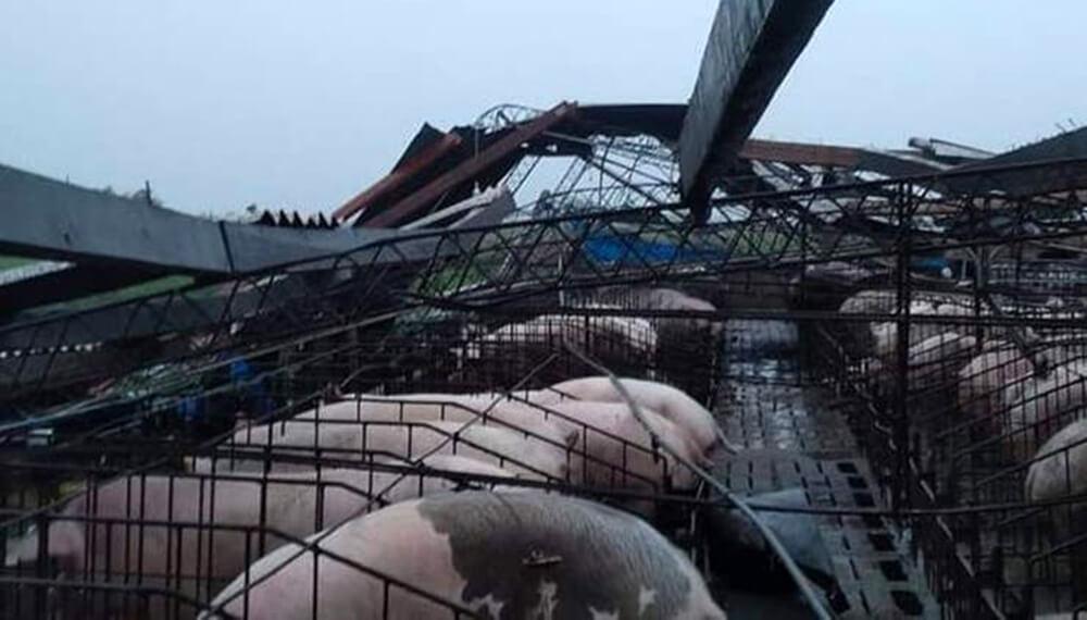 Granja porcina afectada por la tormenta