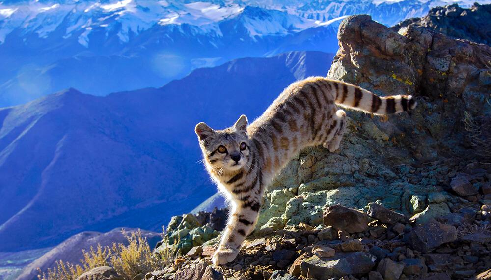gato andino reserva villavicencio