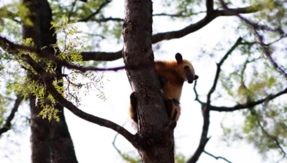 Oso melero en un árbol