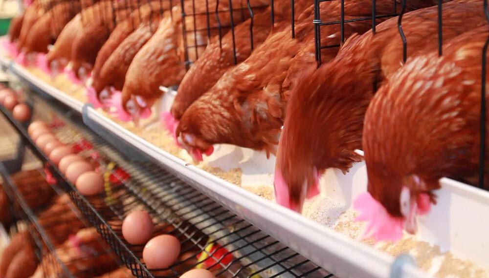 gallinas alimentándose