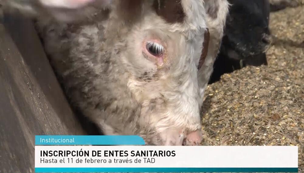 Vaca comiendo con placa informativa del senasa