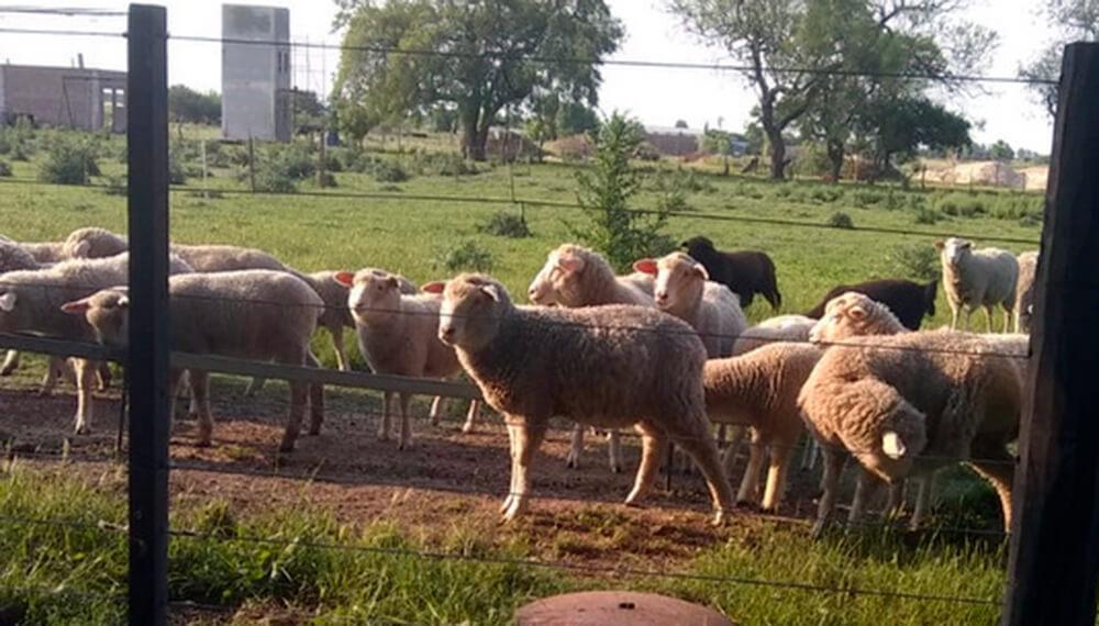 corderos urdinarrain