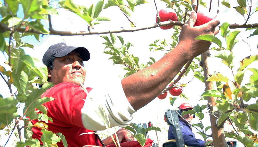 cosecha fruta inta