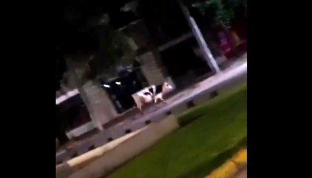 vaca robando alimento