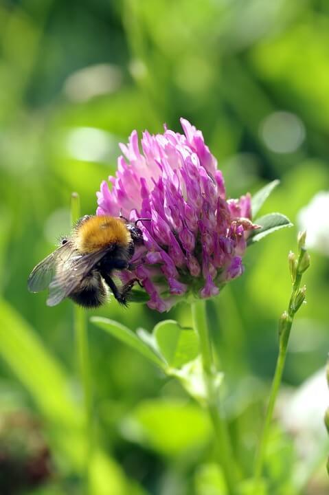 trébol rojo abeja