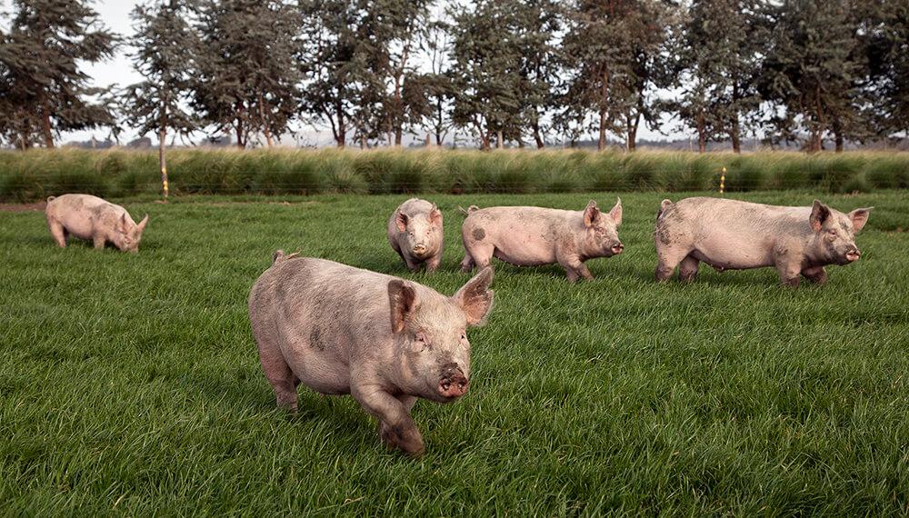Senasa Cerdos Peste porcina africana