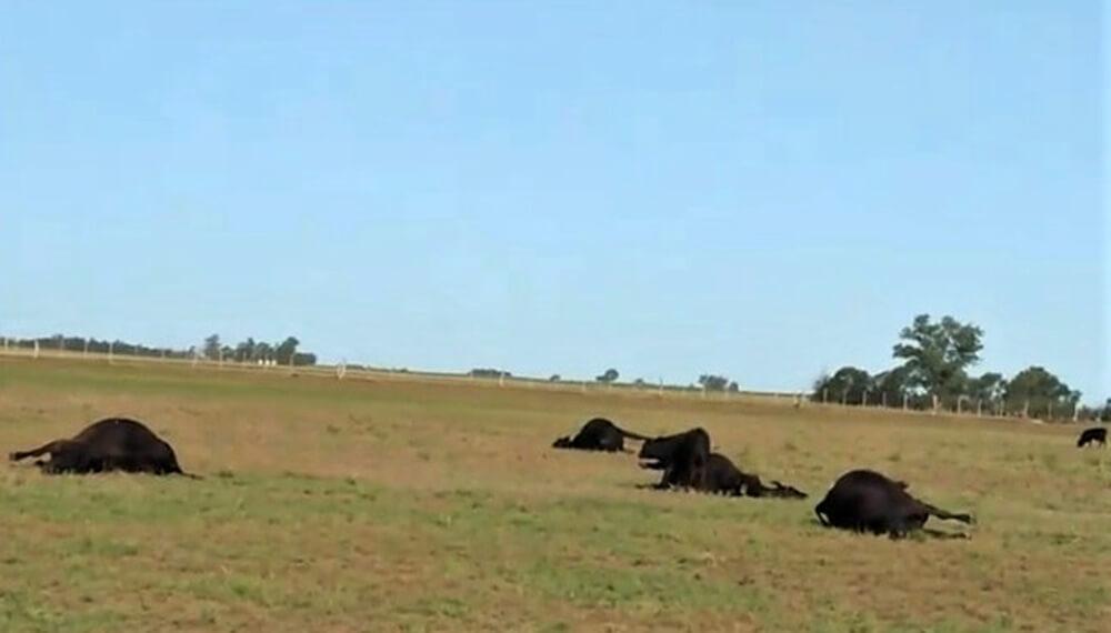 Murieron 29 vacas por intoxicación en La Pampa: el dolor del cabañero