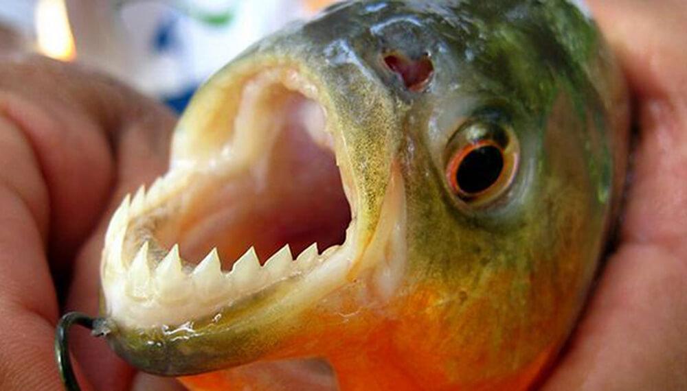 Palometa mostrando los dientes