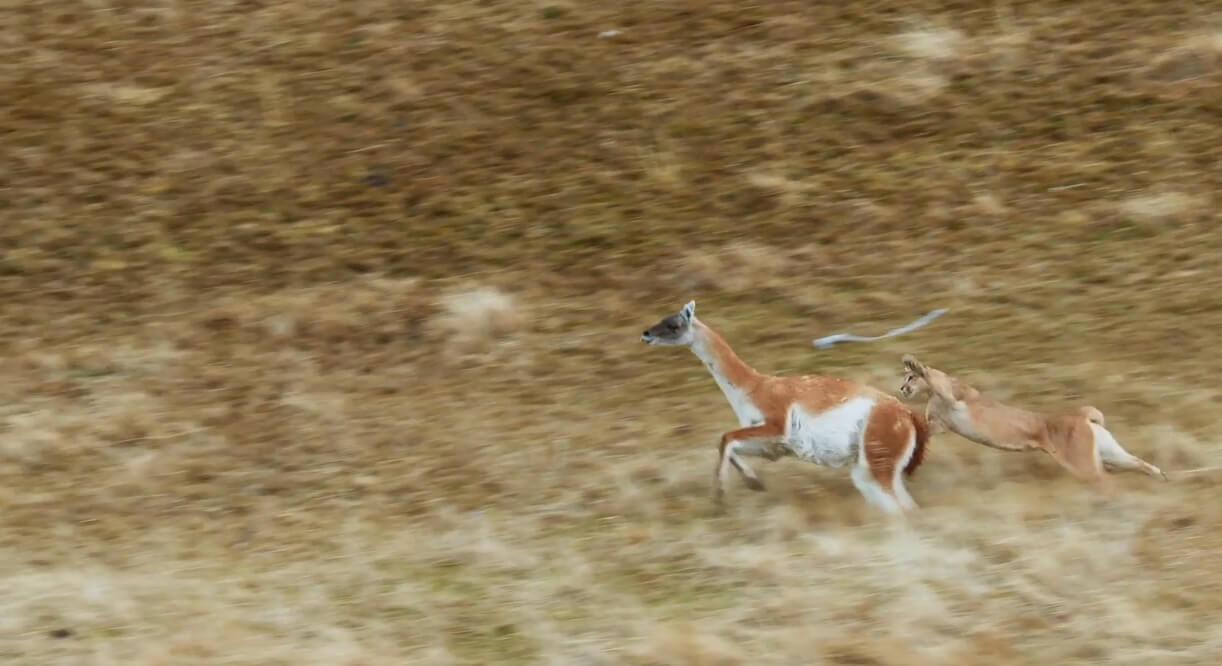 Puma cazando un guanaco