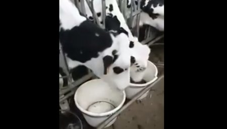 vaca suelta por las calles de gálvez, santa fe