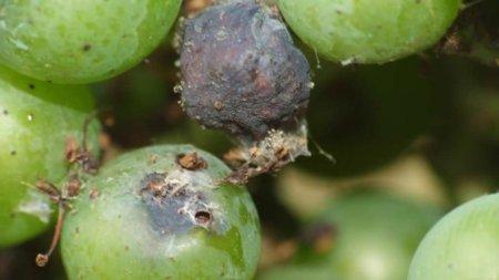 uvas dañadas polilla de la vid