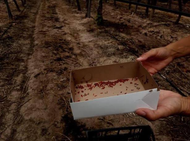 caja Lobesia botrana estériles
