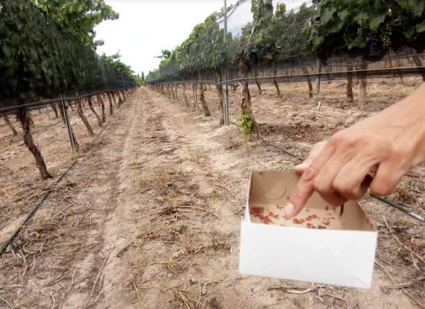 Lobesia botrana viñedos