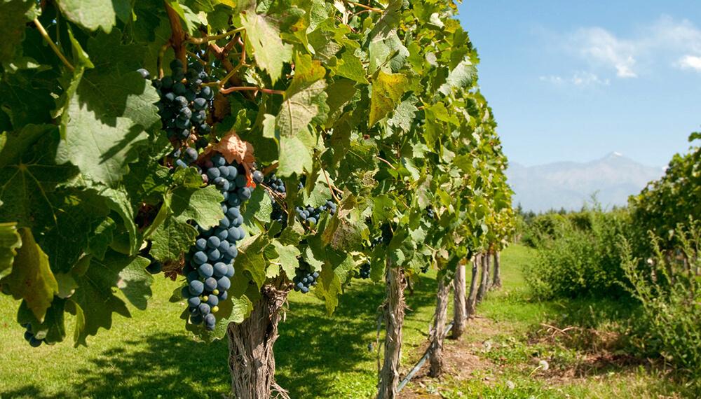 viñedo uvas parra