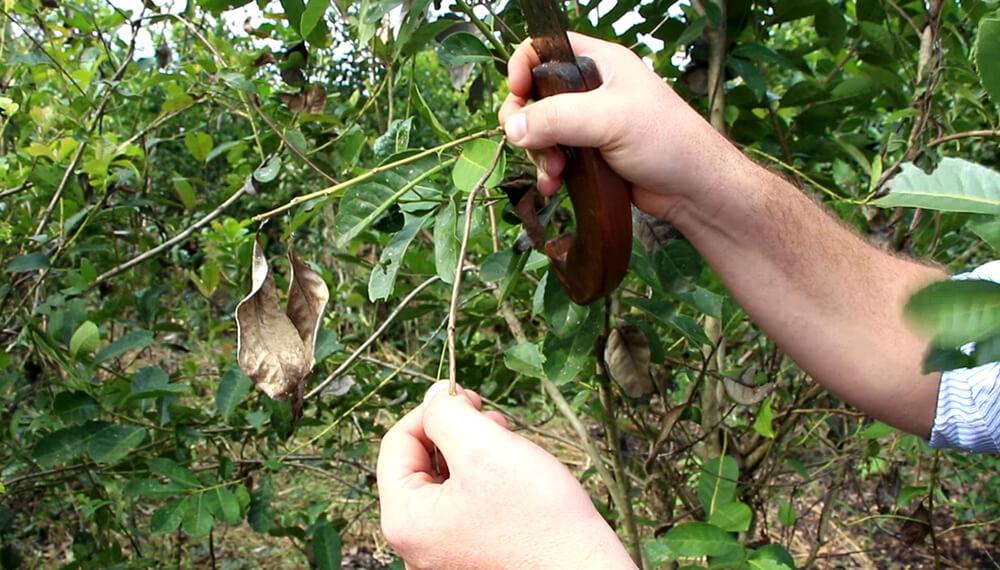 planta de yerba mate dañada por el mal de la tela