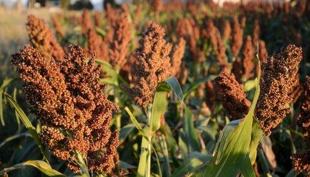 Trigo: finalizó la cosecha de cereal de las campaña 2019/20