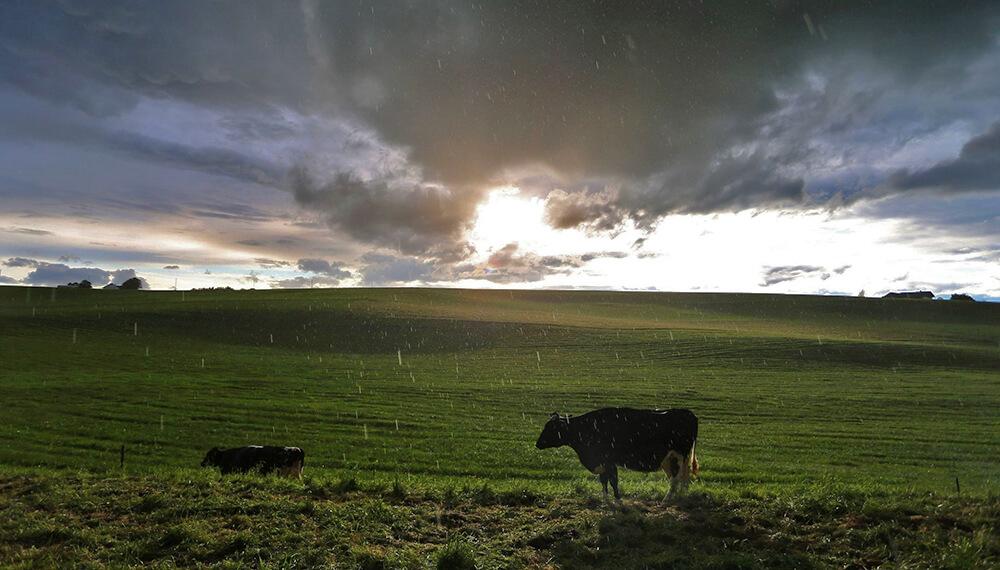 campo lluvia vacas