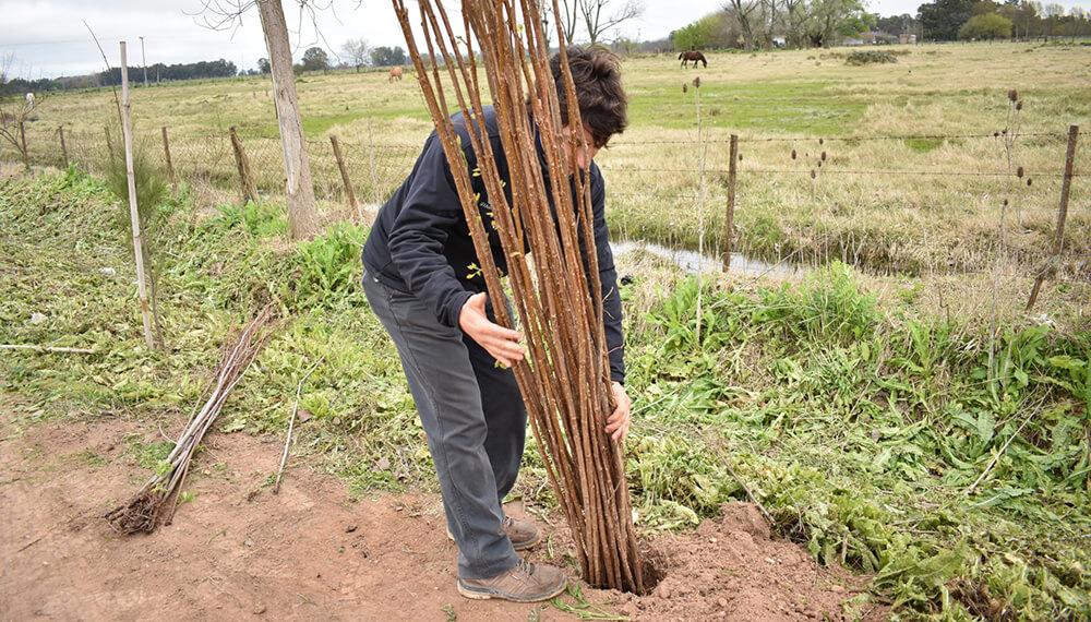 Plantación de cortina forestal - álamos