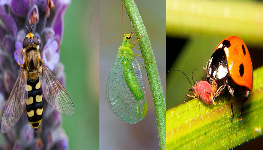 Huerta - Insectos - Plagas