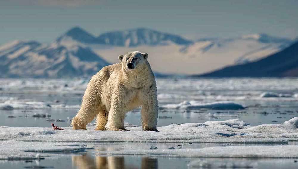 Oso polar en el ártico