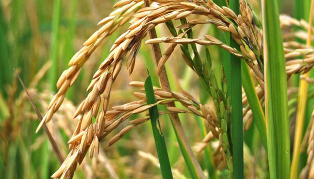 arroz-ca%C3%ADda-interanual-Entre-Rios-infocampo