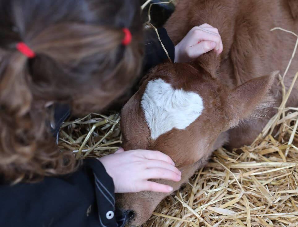 vaca con mancha en forma de corazón
