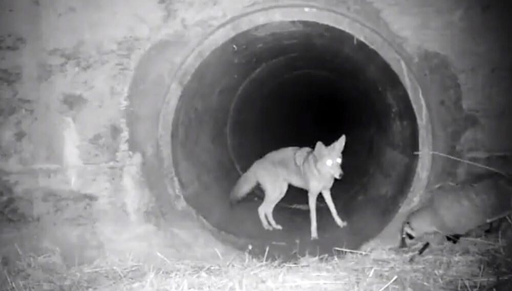 Coyote y tejón bajo una autopista