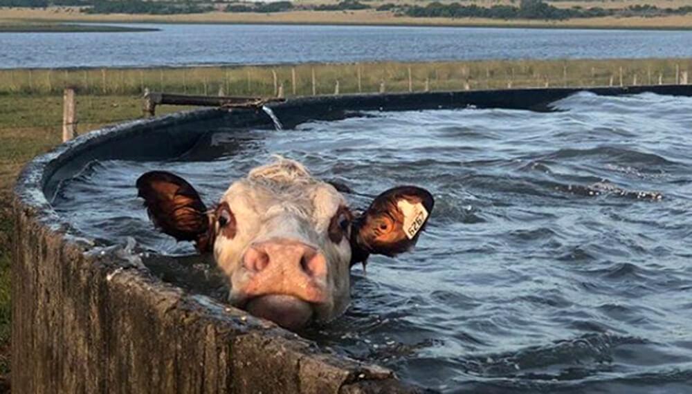 vaca en un tanque australiano