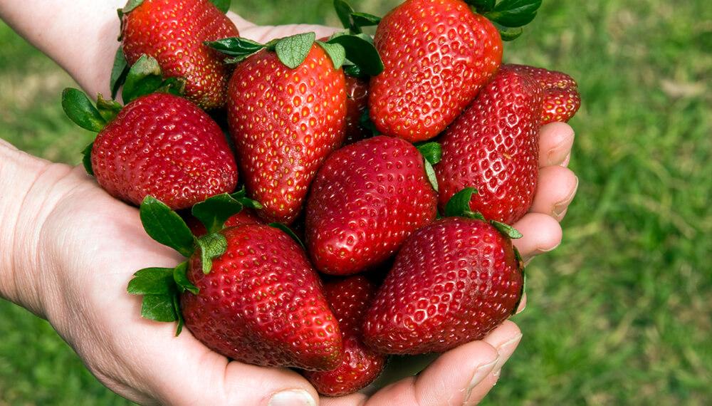 manos sosteniendo frutillas