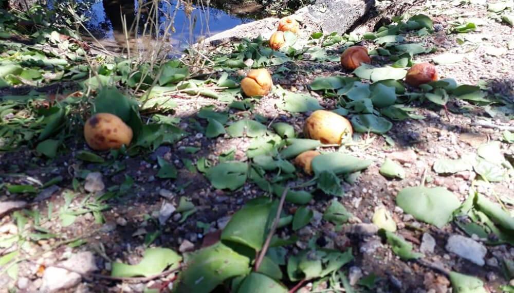 frutas derribadas por granizo