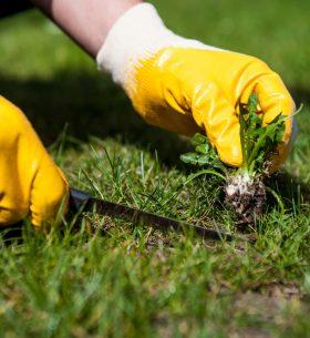 arrancando hierbas con guantes y cuchillo