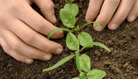 Plantas de coliflor