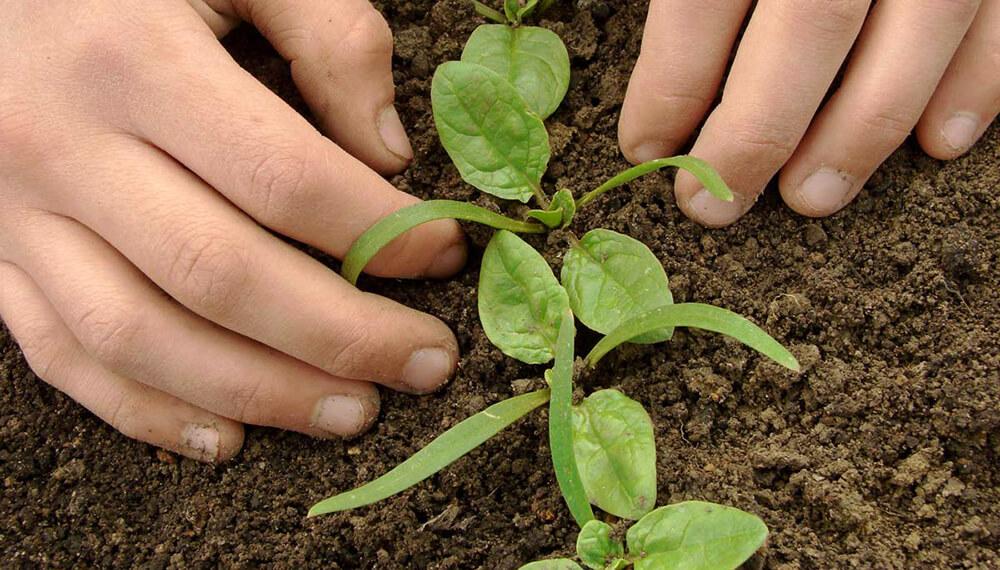 plantines de espinaca