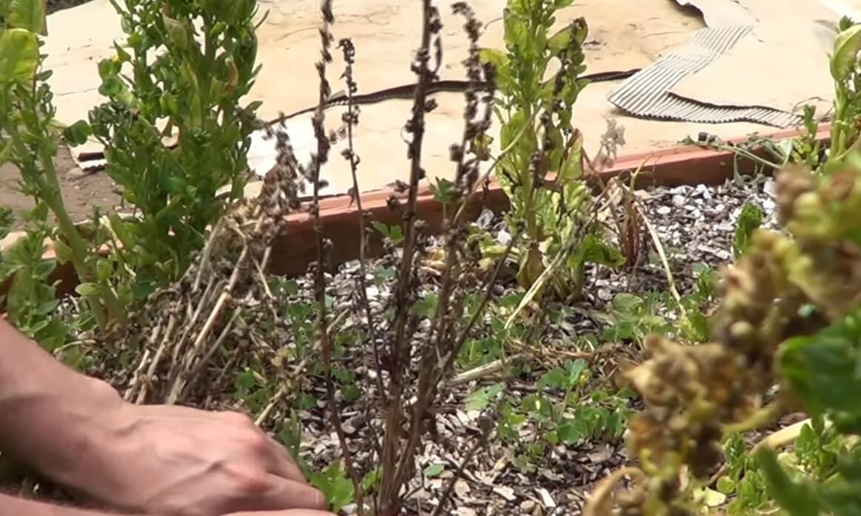tallo seco de espinaca