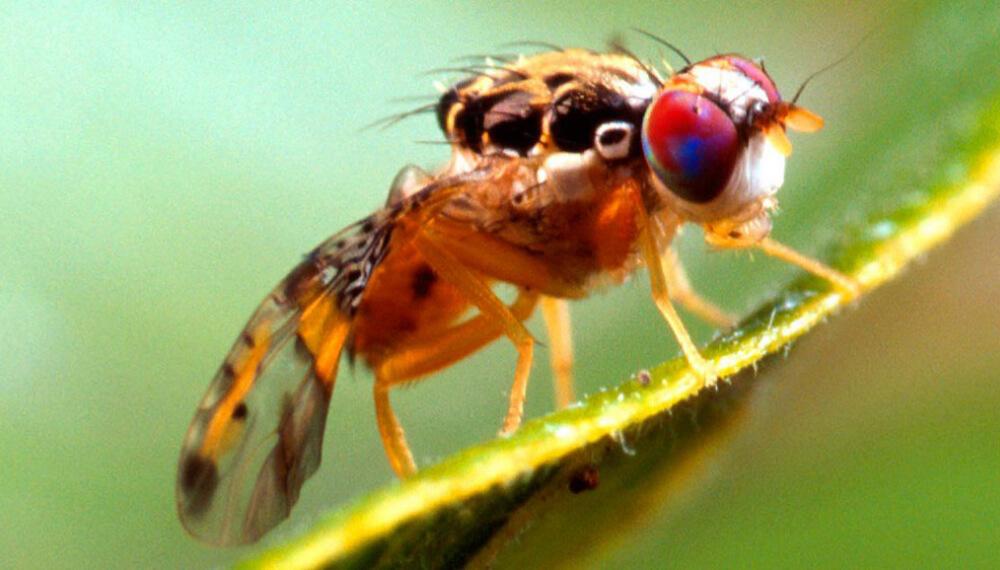 mosca del mediterraneo en una hoja