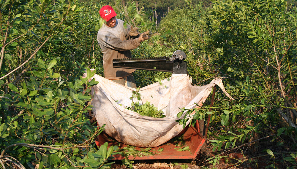 trabajador rural podando yerbal
