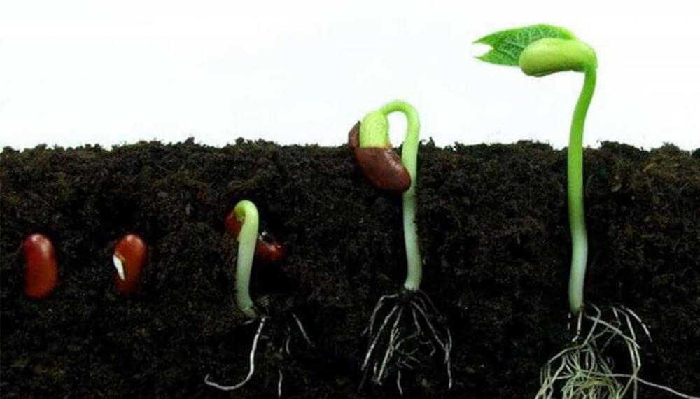 germinación de semilla