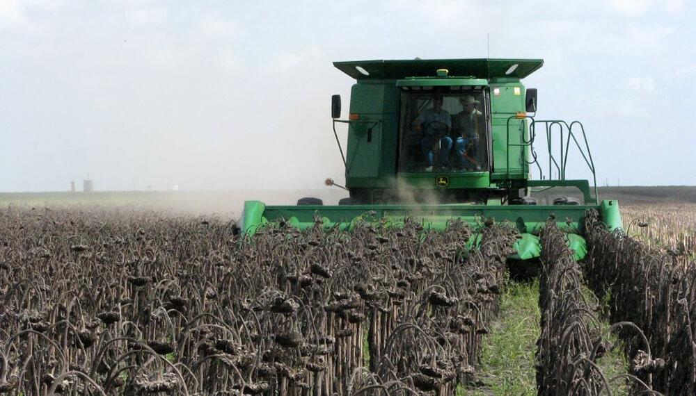 cosecha de girasol