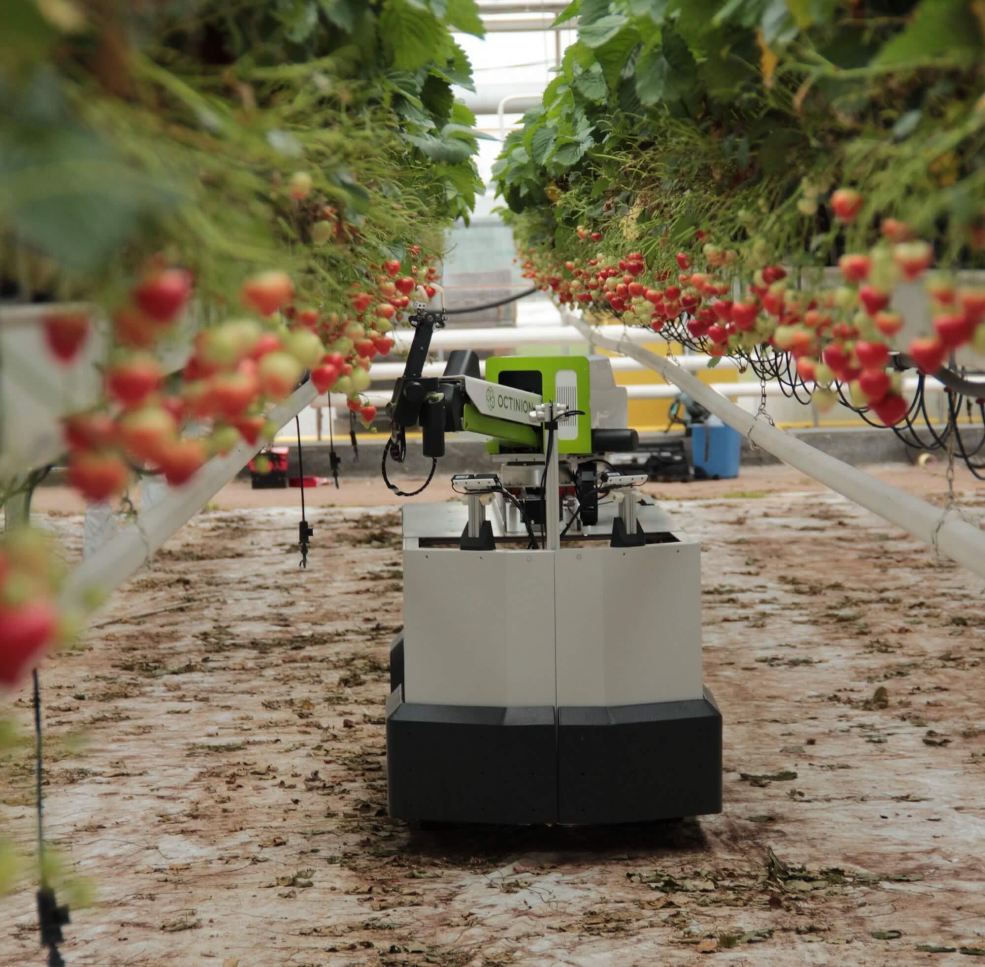 robot recolector de frutillas