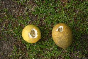 fruto roto