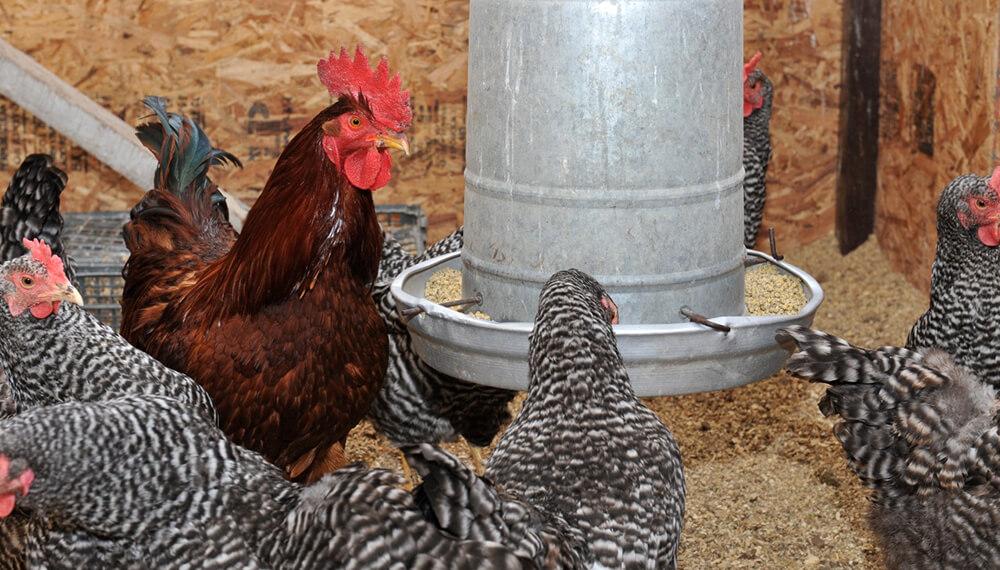 gallinas comiendo
