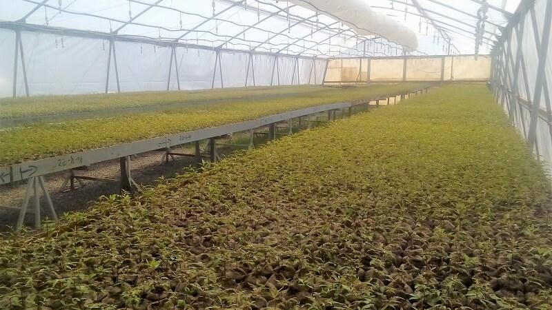 pistacho invernadero